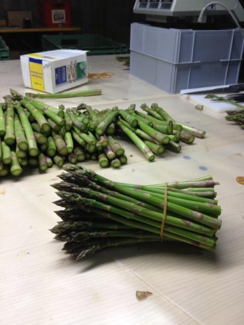 damit die vorsortierten Grünspargeln werden auf dem Tisch ausgebreitet, wobei man die Dicke der Spargelstange besser sehen kann