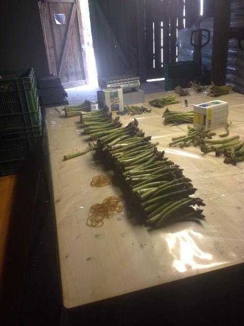 in unserem Grünspargel-Sortierraum in Kradolf werden jetzt die vorsortierten Grünspargeln gebündelt